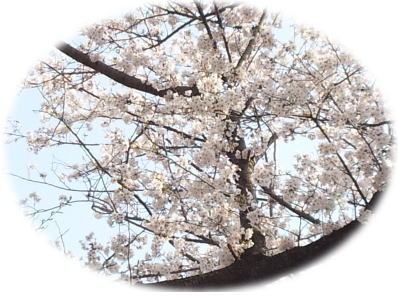 image of Cherry blossoms�F���̉�